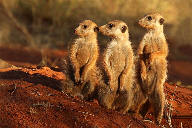 Charles J Sharp (https://commons.wikimedia.org/wiki/File:Meerkat_(Suricata_suricatta)_Tswalu.jpg), https://creativecommons.org/licenses/by-sa/4.0/legalcode